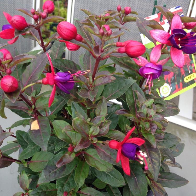 Picture of Live Fuchsias Jollies Nantes Plant Fit 1QRT Pot