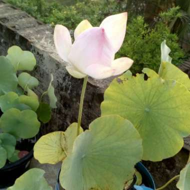 Lotus Cochrane's Snow White