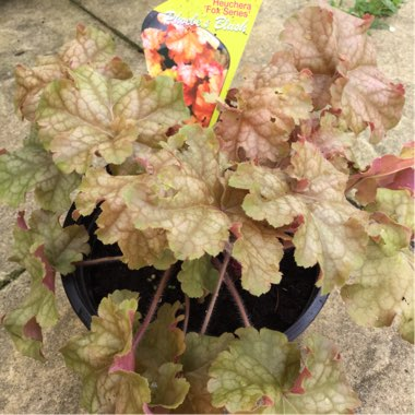 Alumroot Phoebe's Blush