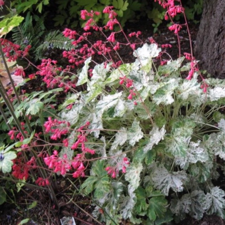 Plant image Heuchera 'Snow Angel'