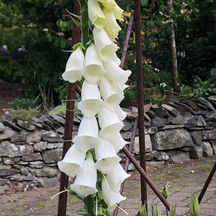 Plant image Digitalis