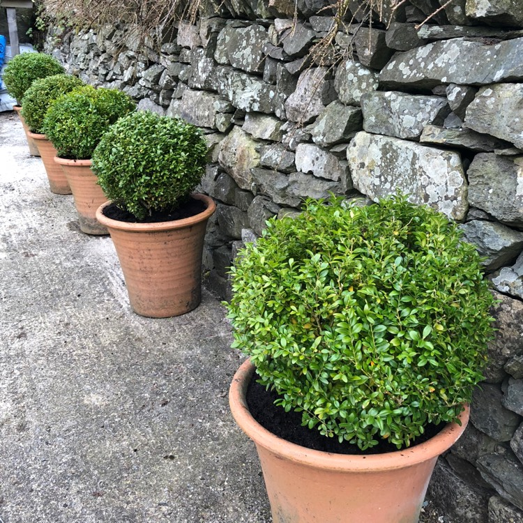 Plant image Buxus sempervirens