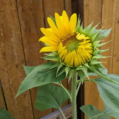 Sunflower 'Russian Mammoth'