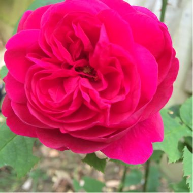 Rose 'LD Braitwaite'