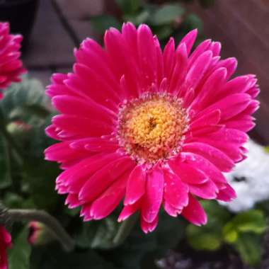 Gerbera garvinea 'Sweet Dreams'