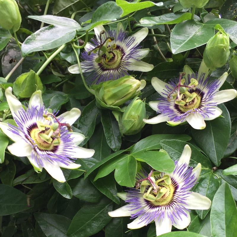 Passiflora x belotii 'Imperatrice Eugenie'
