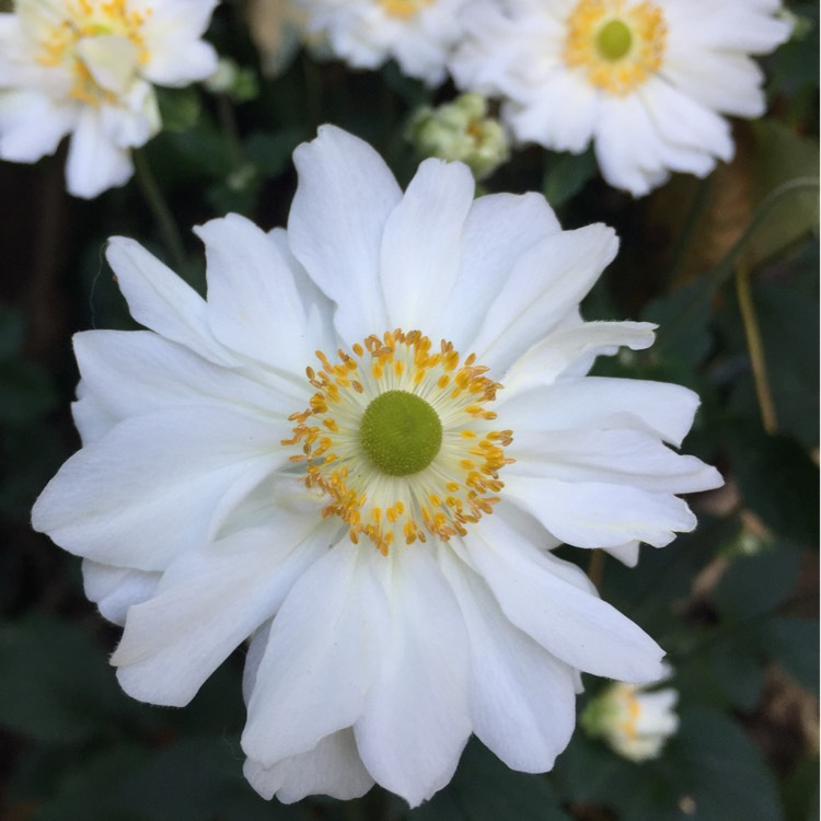 Plant image Anemone Hupehensis var. japonicax hybrida 'Whirlwind'