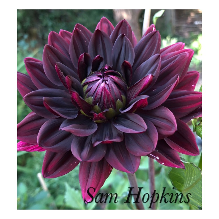 Plant image Dahlia 'Sam Hopkins'