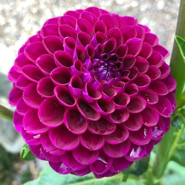 Dahlia 'Downham Royal' (Ball)