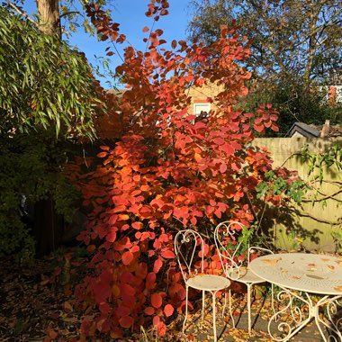 Smoke Bush 'Grace'