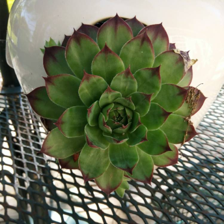 Plant image Sempervivum Pacific Red Rose