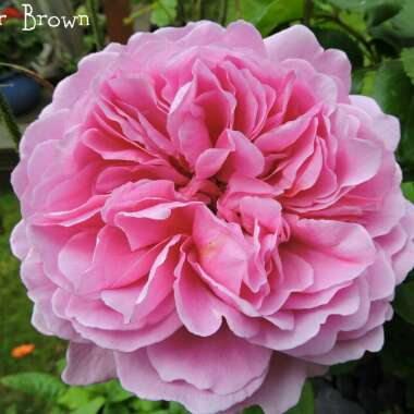 Rose 'Princess Alexandra of Kent' (Shrub)