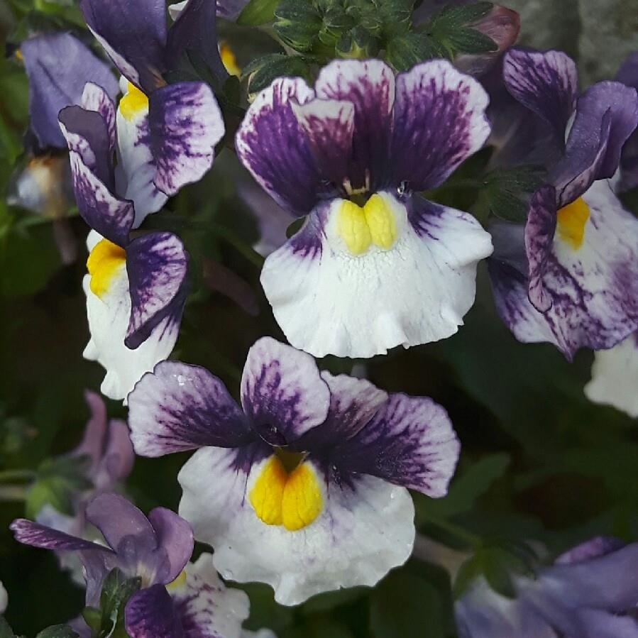 Plant image Nemesia 'Berries And Cream'