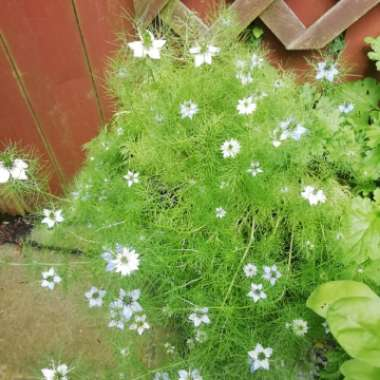 Love-in-a-mist 'Persian Jewels'