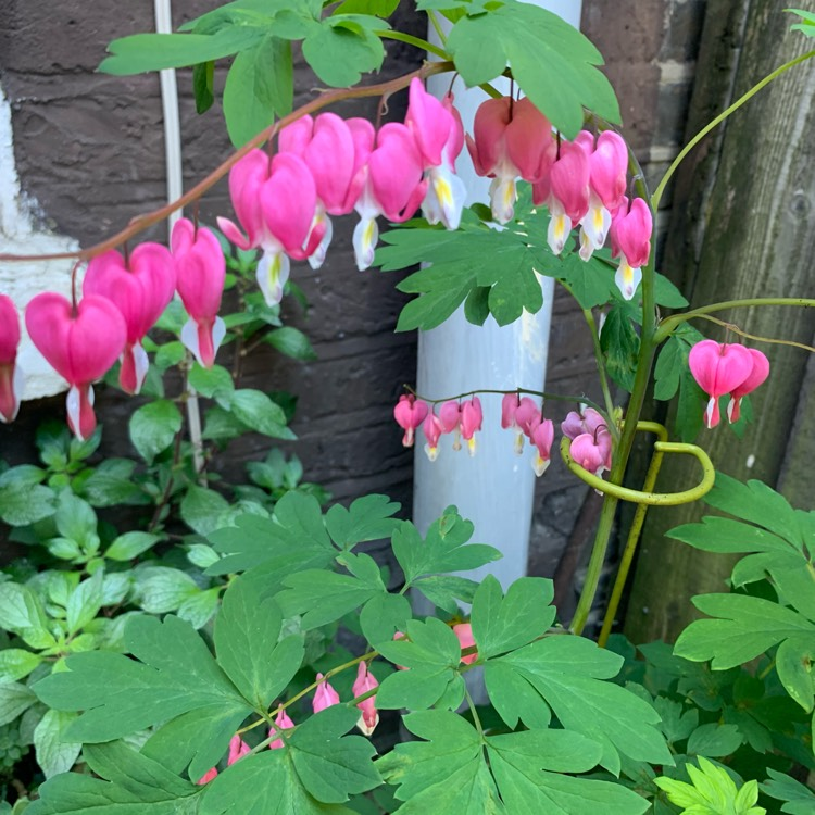 Plant image Dicentra formosa 'King of Hearts'