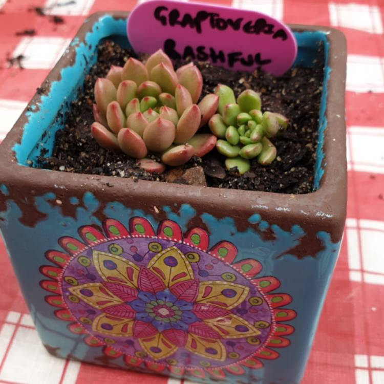 Plant image Graptoveria Bashful