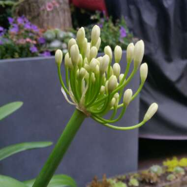 African Lily 'Albus'