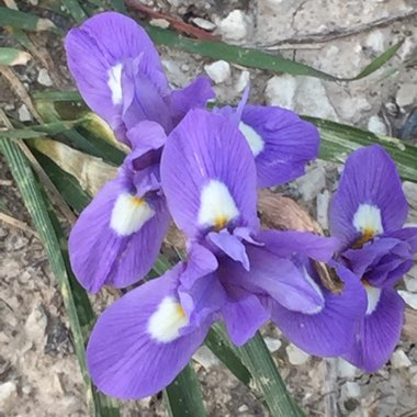 Wide Leaved Iris