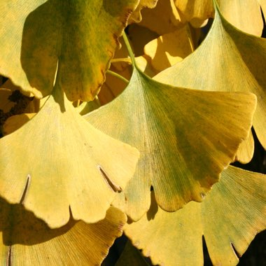 Maidenhair Tree 'Horizontalis'