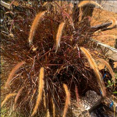 Fountain Grass 'Rubrum'