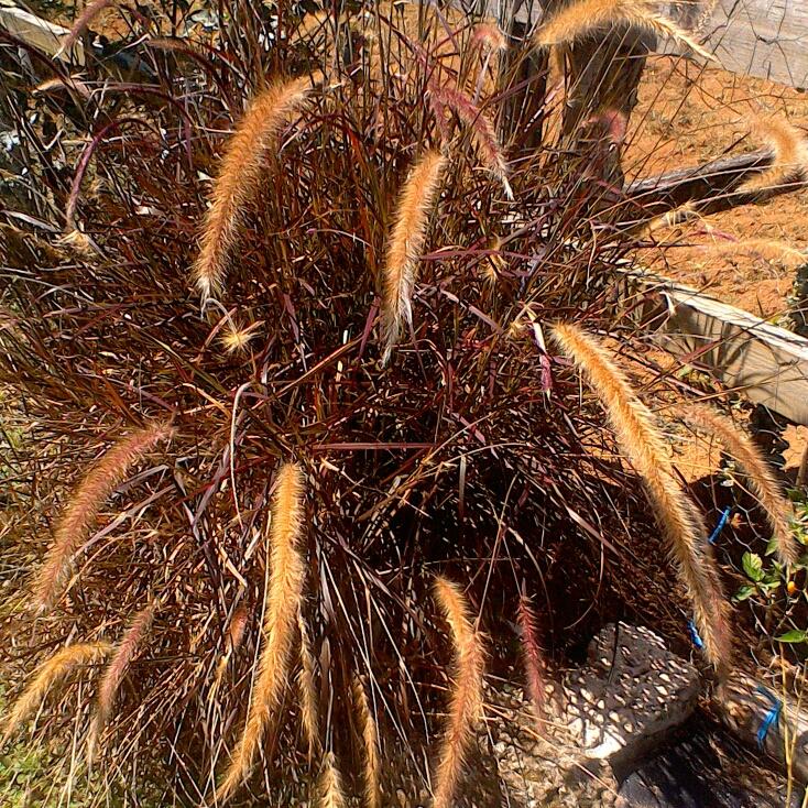 pennisetum setaceum 39 rubrum 39 fountain grass 39 rubrum 39 uploaded by bermudawinegeek. Black Bedroom Furniture Sets. Home Design Ideas