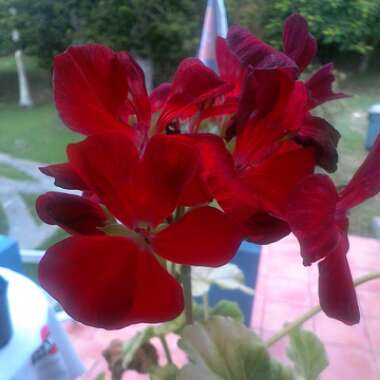 Pelargonium 'Maverick Red' (Zonal)