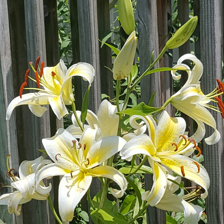 Lily (Species) Easter Lily