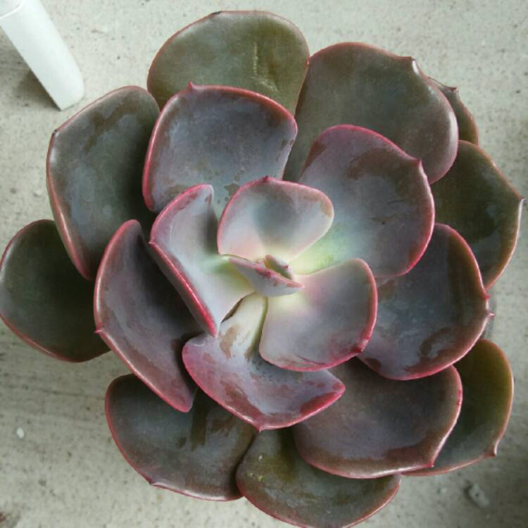 Plant image Echeveria Dusty Rose