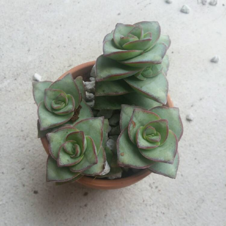 Plant image Crassula perforata 'String of Buttons'