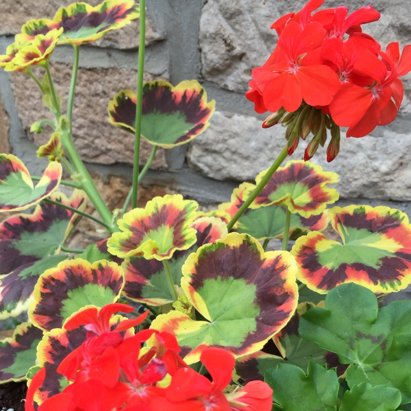Pelargonium 'Contrast' (Zonal Coloured Variegated)