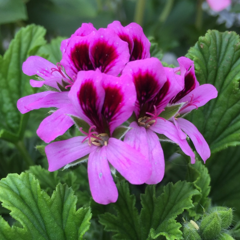 Geranium 'Orange Fizz'