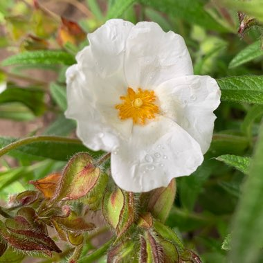 sage-leaved rock-rose,