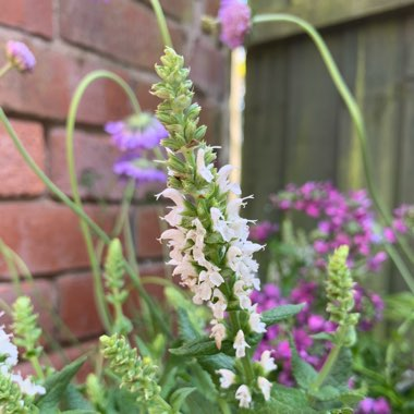 Salvia  'Sensation White' ('Sensation' Series)