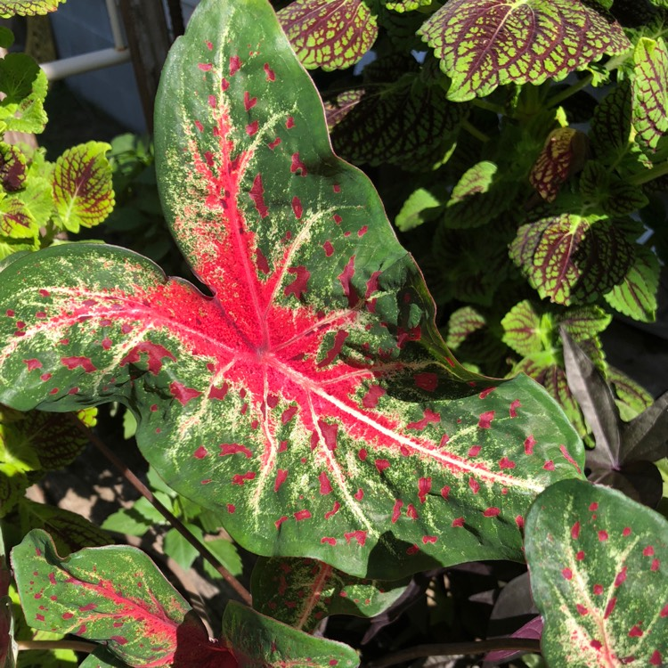 Plant image Caladium 'UF-172' syn. Caladium 'Artful Fire and Ice', Caladium 'Tapestry'