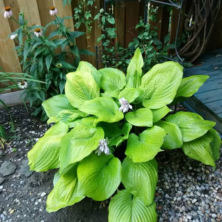 Plant image Hosta 'Bressingham Blue'