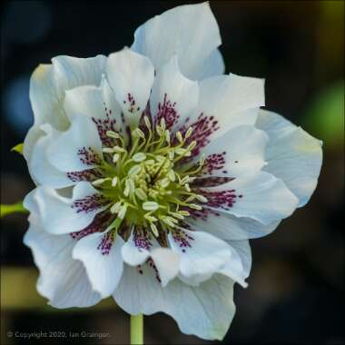 Hellebore 'Double Ellen White Spotted'