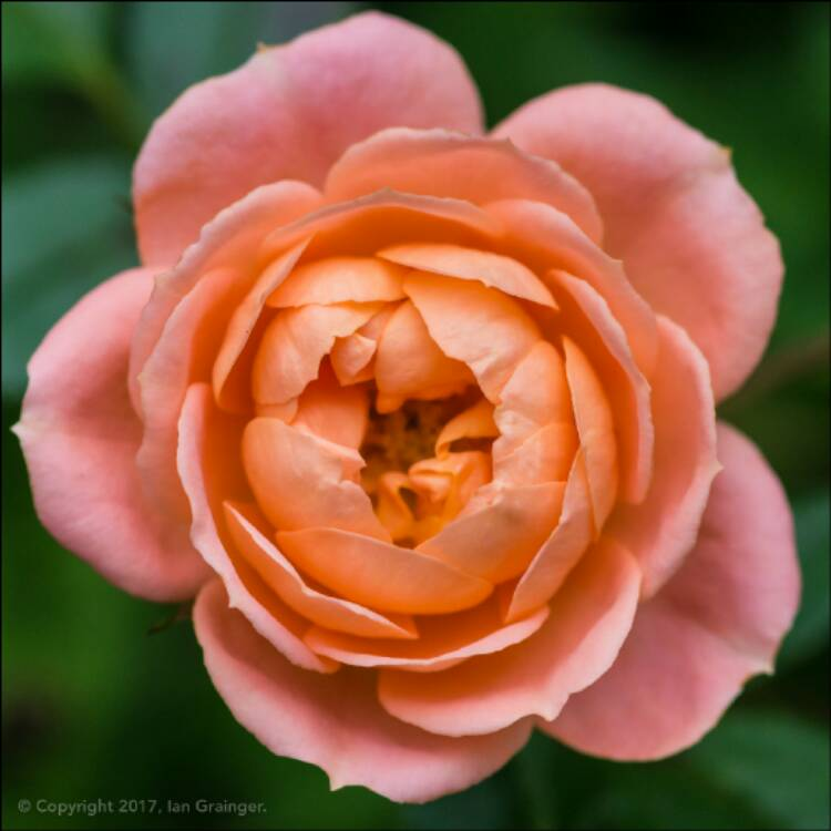 Plant image Rosa 'Sweet Dream'