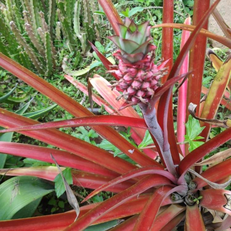 Plant image Cordyline 'Red Star'