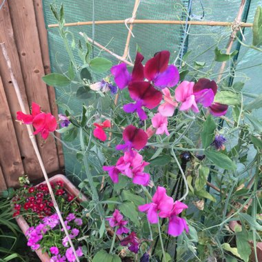Lathyrus Odoratus 'Antique Fantasy Mixed'