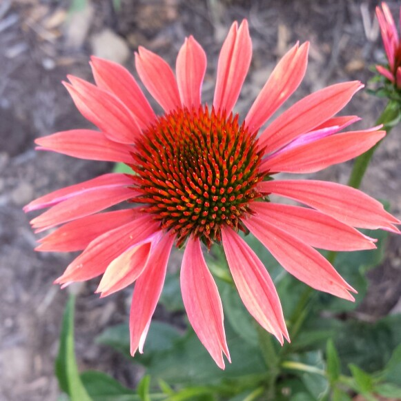 Plant image Echinacea 'Julia' (Butterfly Series)