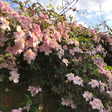 Clematis montana (unknown variety)