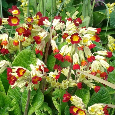 Primula (Unknown Variety)
