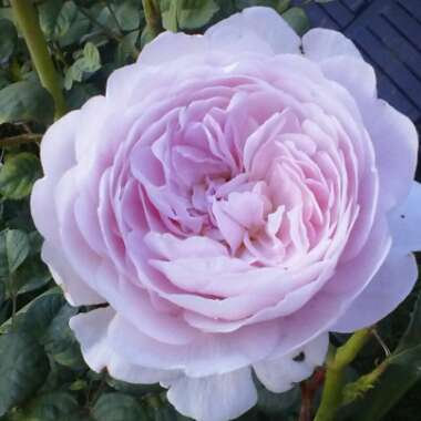 Rose 'Queen of Sweden' (Shrub)