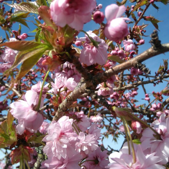 Japanese Flowering Cherry Tree (Unknown Variety)