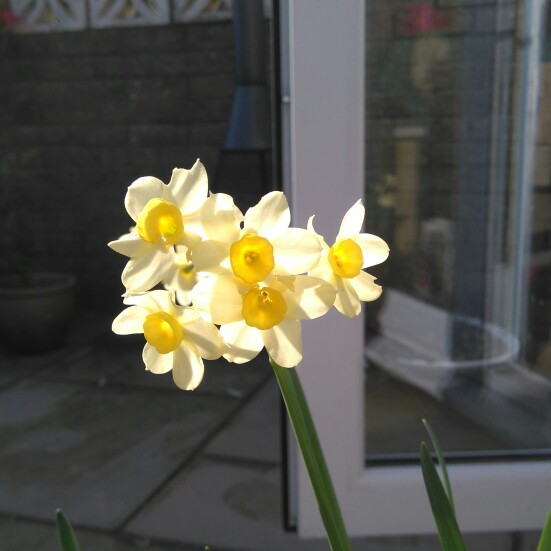 Daffodil (Unknown Variety)