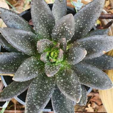 Echeveria 'Black Knight'