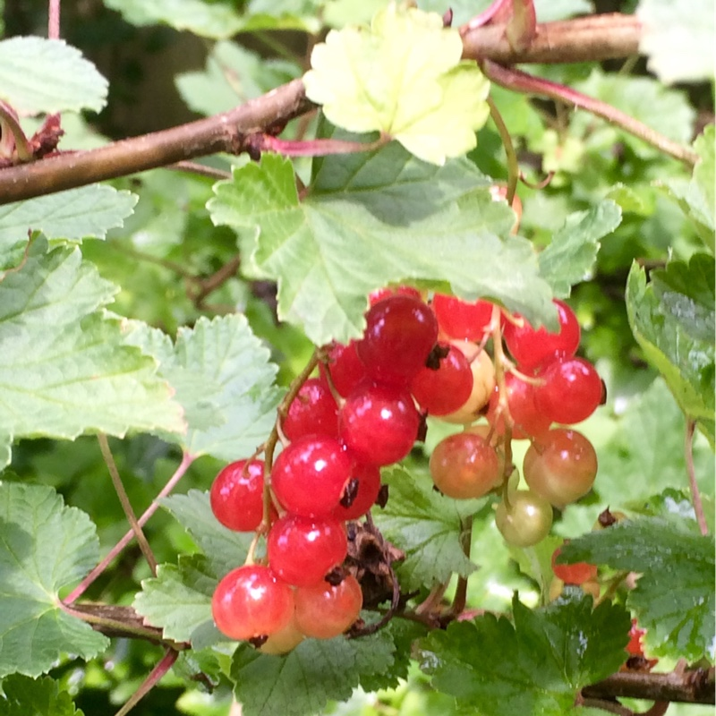 Plant image Ribes Rubrum