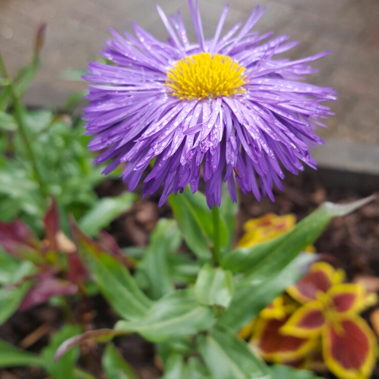 Plant image Aster lateriflorus 'Lady In Blue'