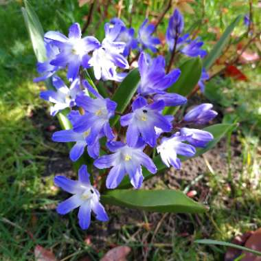 Forbes' Glory-of-the-Snow 'Blue Giant'