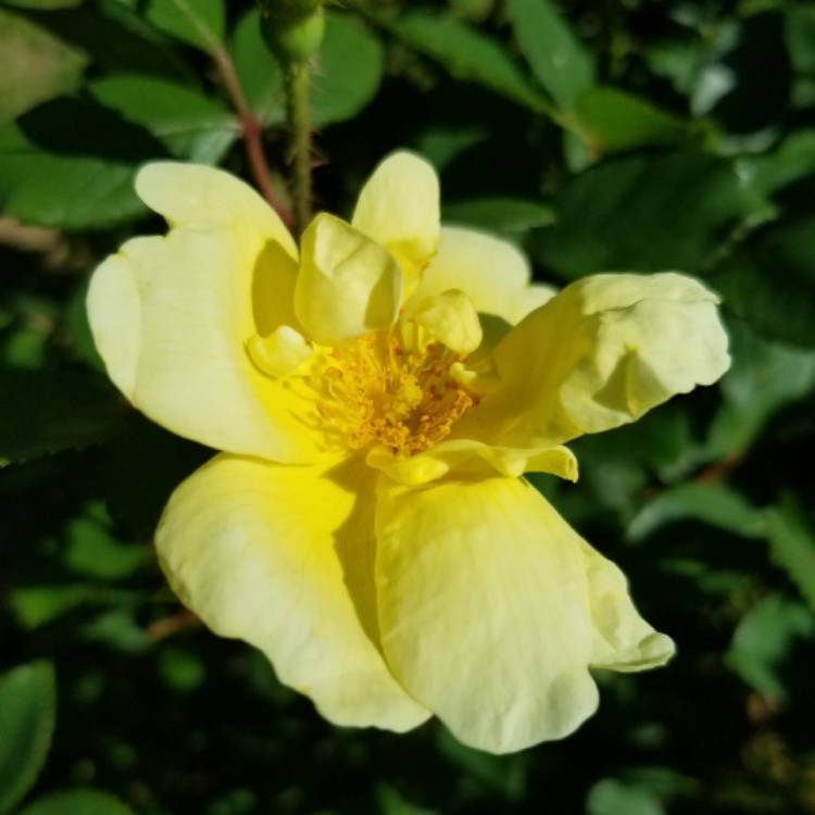 Plant image Rosa 'Radtko' syn. Rosa 'Double Knock Out'